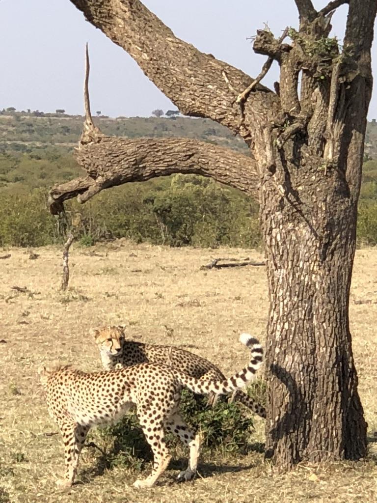 1. cheetah3
