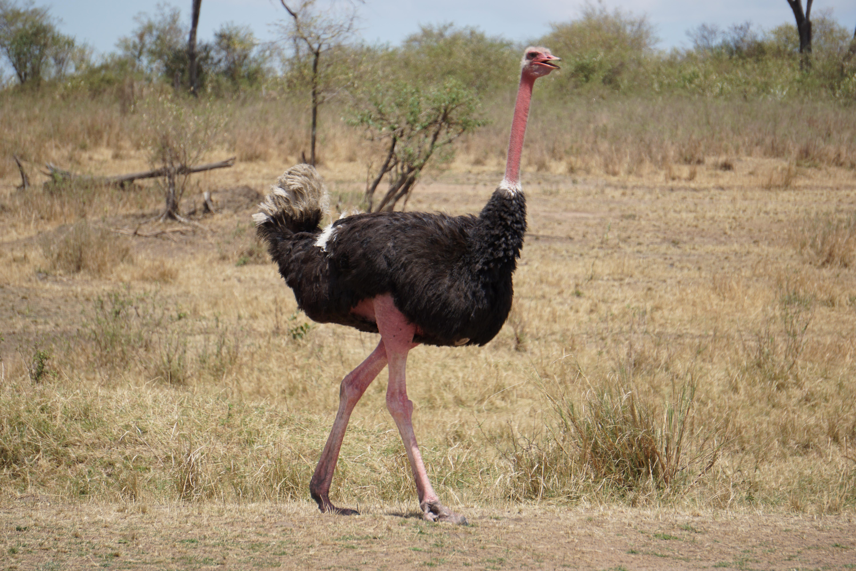 1. Ostrich