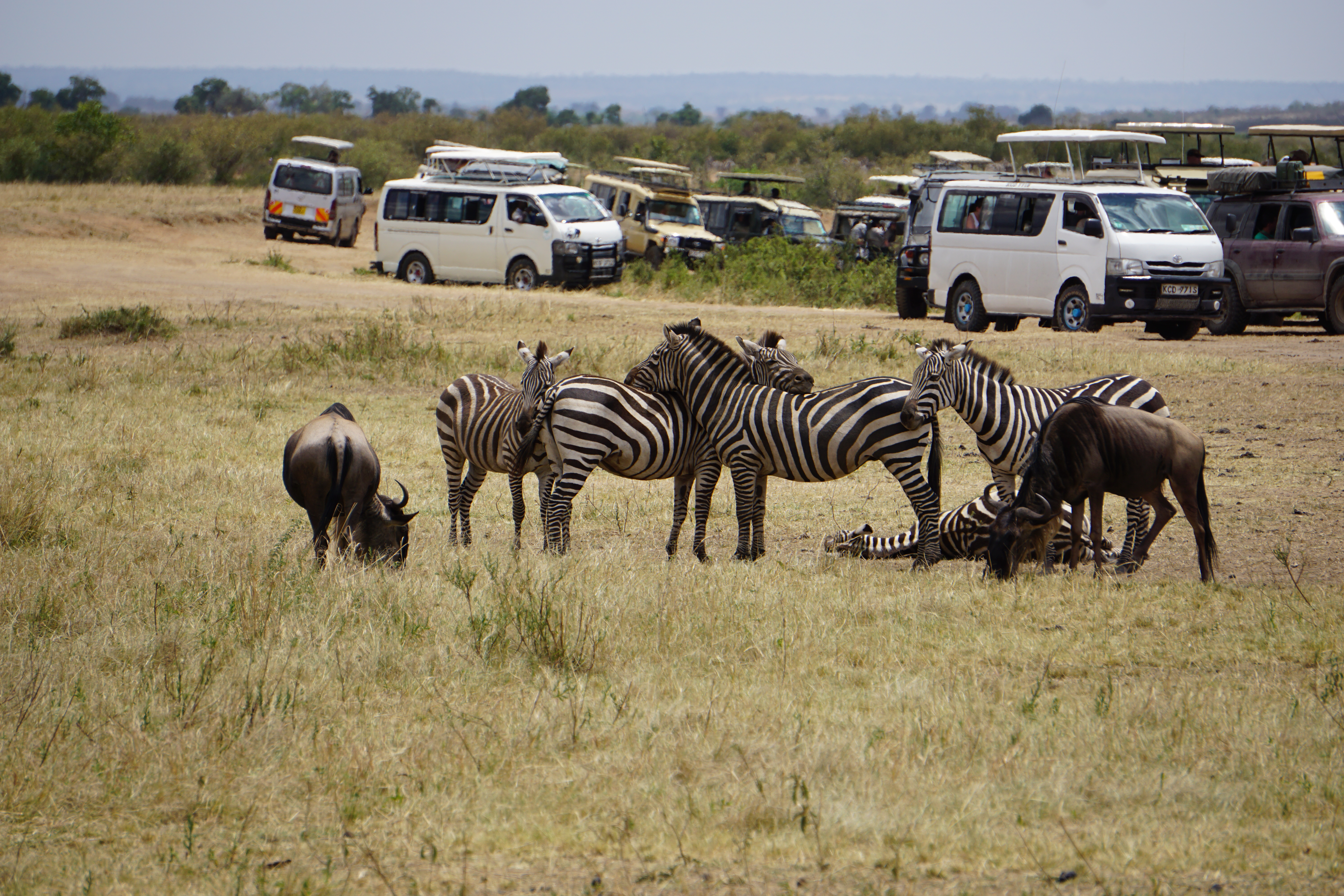 1a. Zebras and jeeps