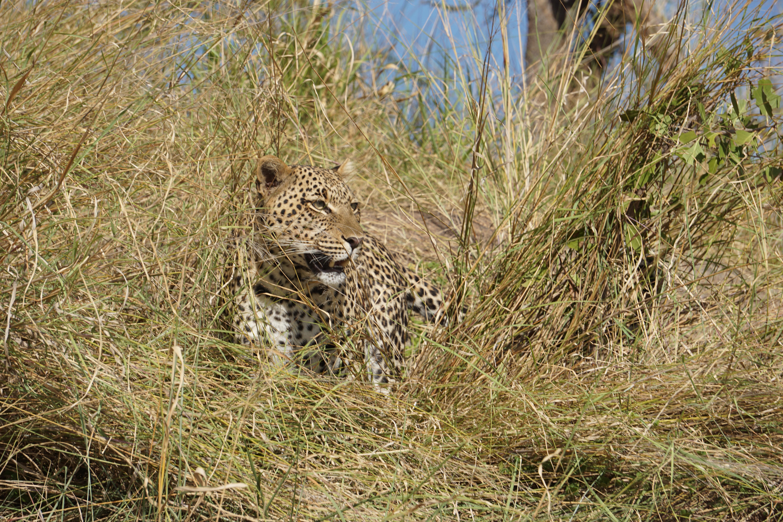 3a. female leopard