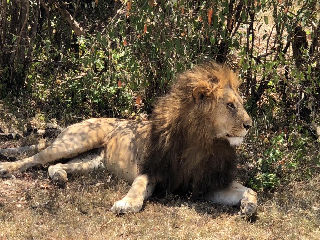 4. Lion2
